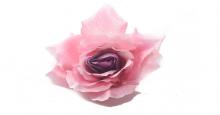 Růže - růžovo-fialová