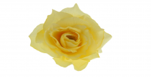 Růže - žlutá