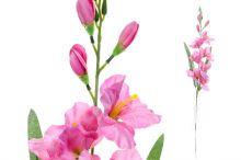 Gladiol sólo - růžová