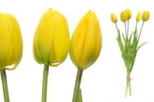 Tulipány x5 - žlutá