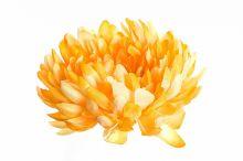 Chryzantéma - žlutá
