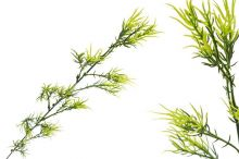 Asparagus větvička
