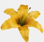 Lilie -  žlutá