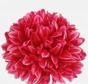 Chryzantéma -  cyklamen