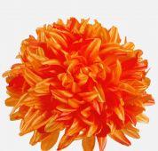 Chryzantéma -  oranžová