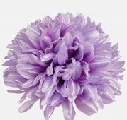 Chryzantéma -  světle fialová