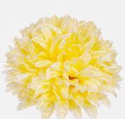 Chryzantéma -  světle žlutá